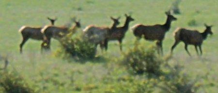 Elk May 16, 2009